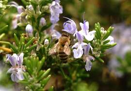 While rosemary is a good source of nectar for honeybees, garden flowers are often not their most important source of forage.