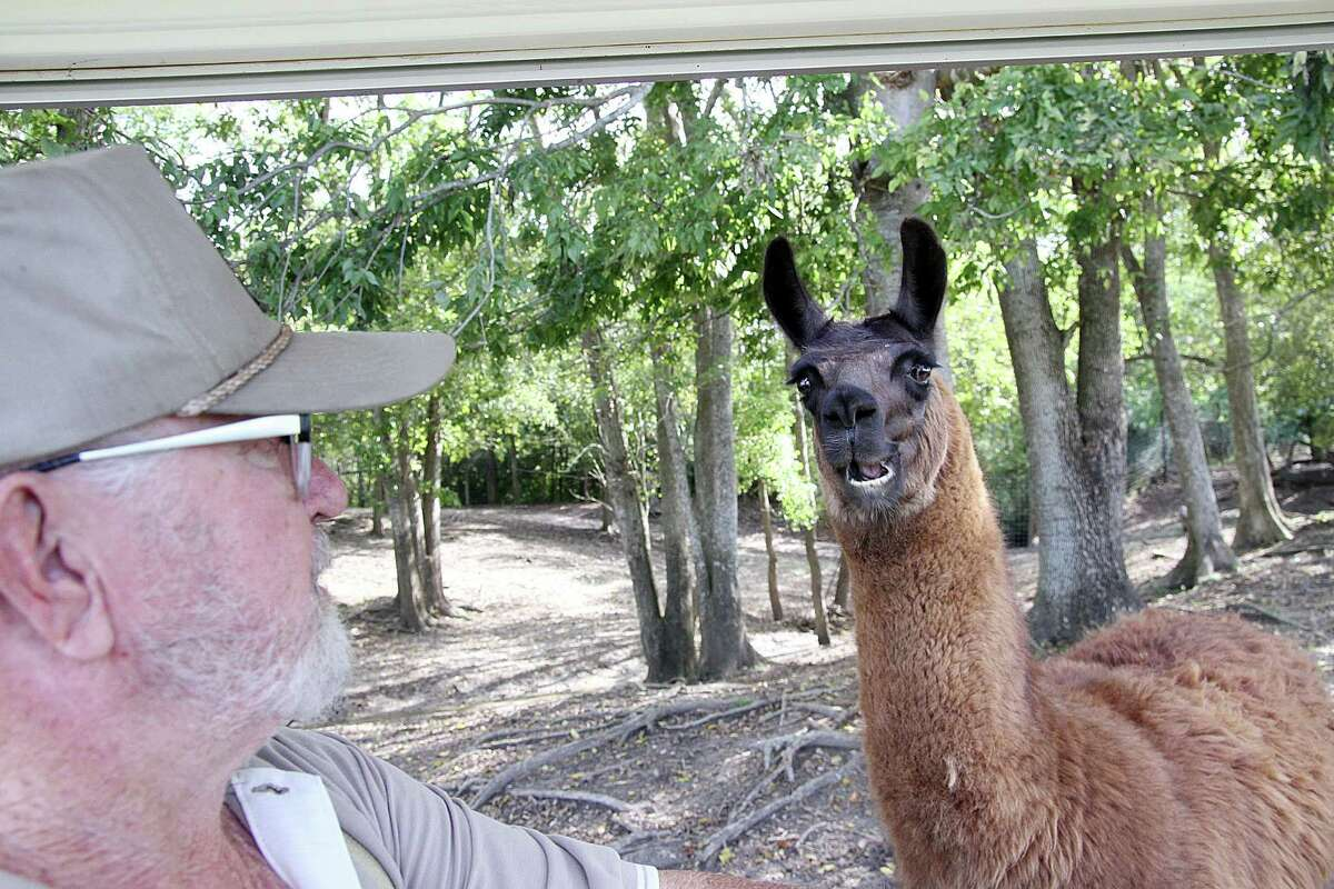 Clint Wolston, owner of the Bayou Wildlife Zoo, greets one of the llamas. Clint Wolston, owner of the Bayou Wildlife Zoo, greets one of the llamas.