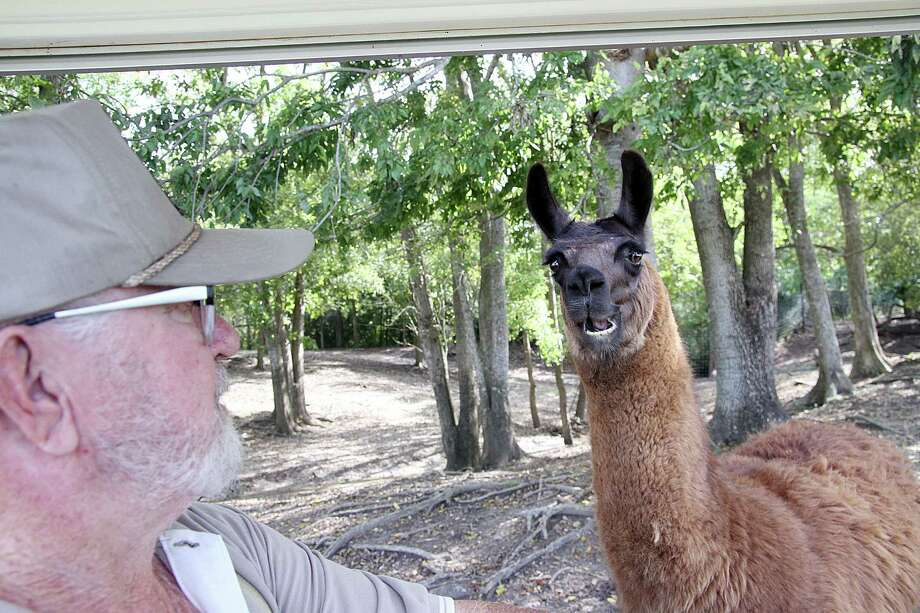 Clint Wolston, owner of the Bayou Wildlife Zoo, greets one of the llamas. Clint Wolston, owner of the Bayou Wildlife Zoo, greets one of the llamas. Photo: Pin Lim, Freelance / Copyright Pin Lim.