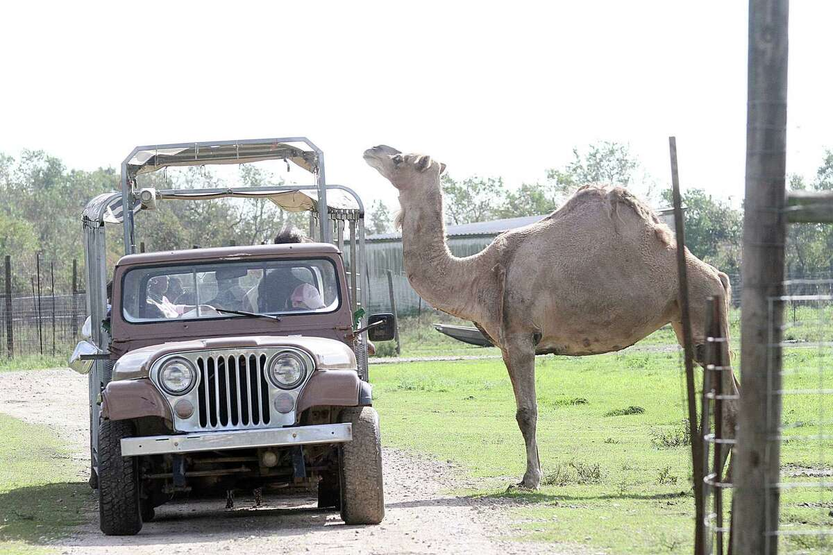 Visitors arouse the curiosity of Cleo, the camel, a zoo resident.Visitors arouse the curiosity of Cleo, the camel, a zoo resident.