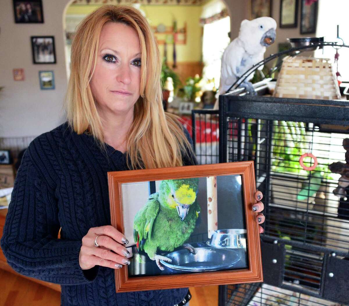 Cathy Komertz holds a photograph of her lost Orange-winged Amazon parrot called Pete Tuesday, Nov. 19, 2013, in Cohoes, NY. At right is her Cockatoo named Homer. (John Carl D'Annibale / Times Union)