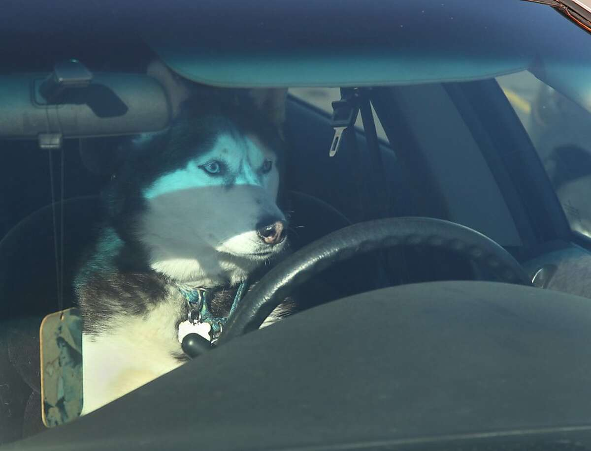 Mush yourself, I'm outta here: Nikka the Siberian husky takes the wheel in Rothschild, Wis.