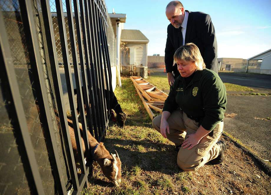 State Animal Control Supervisor Raymond T. Connors and Officer Nancy Jarvis check on some goats, among the farm animals being kept by Christopher Toole on the Bridgeport Animal Control property on Evergreen Street in Bridgeport, Conn. on Wednesday, November 20, 2013. Photo: Brian A. Pounds / Connecticut Post