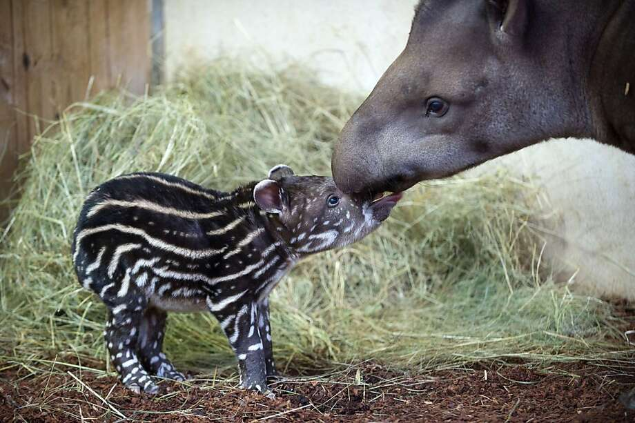Be a good boy and kiss your mother: A week-old male tapir licks his mom's muzzle at the Zooparc of Beauval in Saint-Aignan, France. Photo: Guillaume Souvant, AFP/Getty Images
