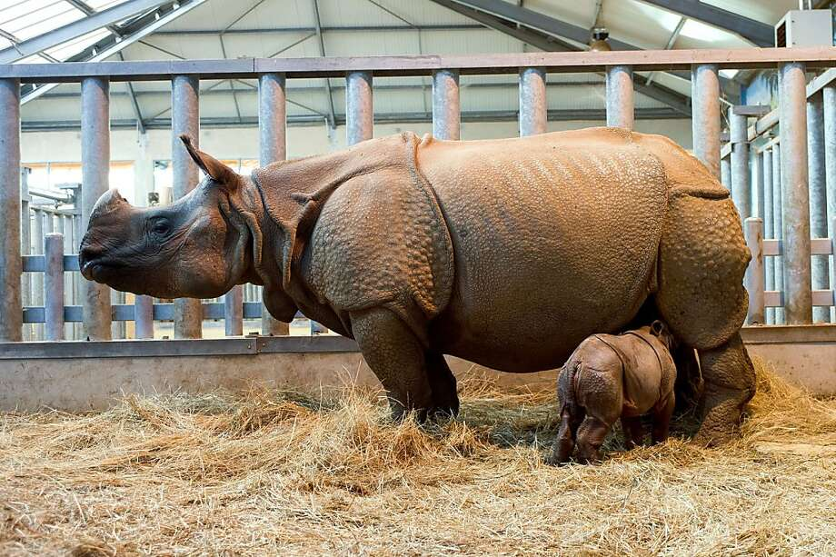 Rhino bambino: Only 2 weeks old, baby Salyane nurses at the Zooparc of Beauval in Saint-Aignan, France. Photo: Guillaume Souvant, AFP/Getty Images
