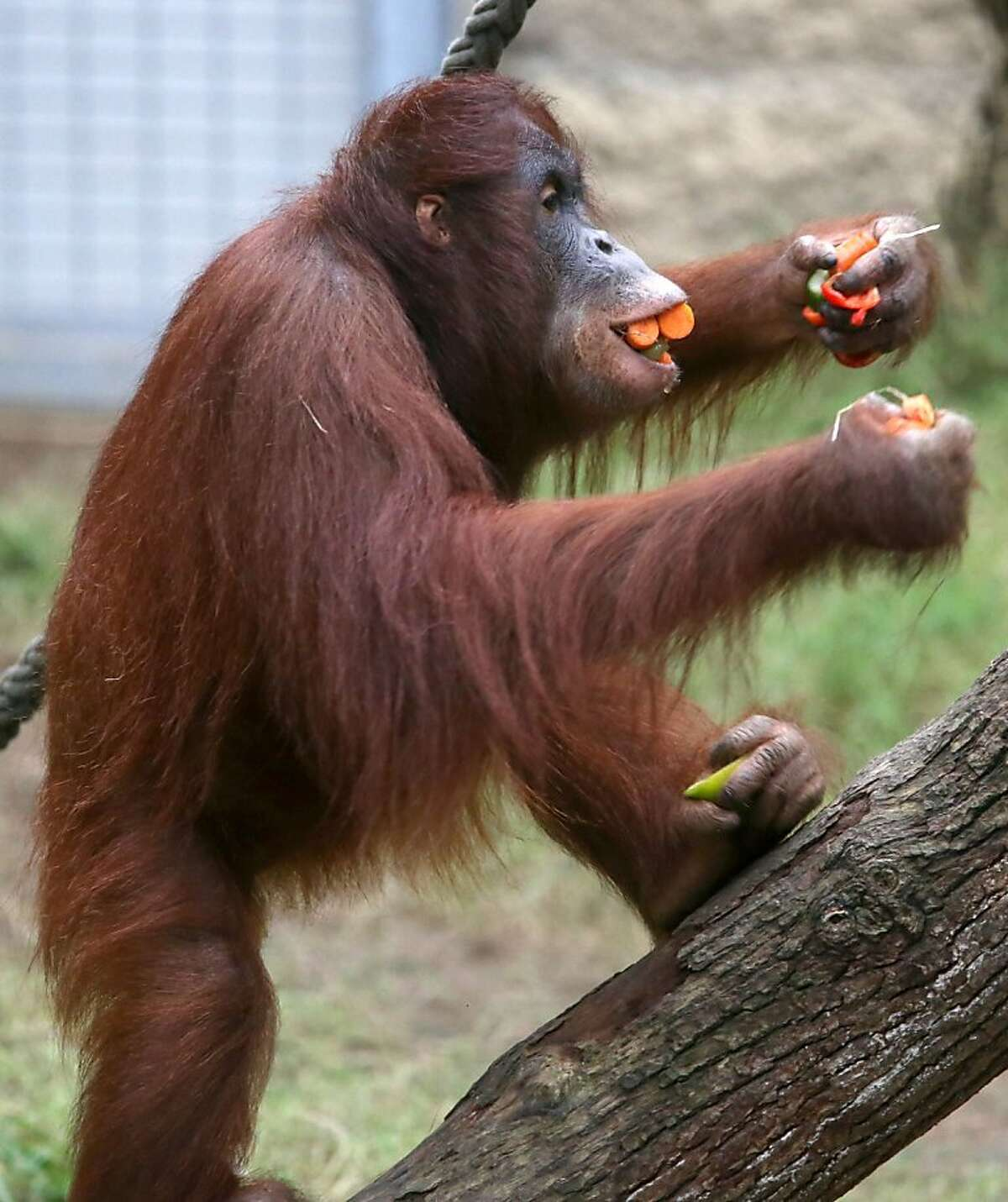 Climbing trees is hard when your hands - and feet - are full: Miri the orang is like the guest at a cocktail party who stuffs his pockets with hors d'oeuvres for later. (Darwineum in Rostock, Germany.)