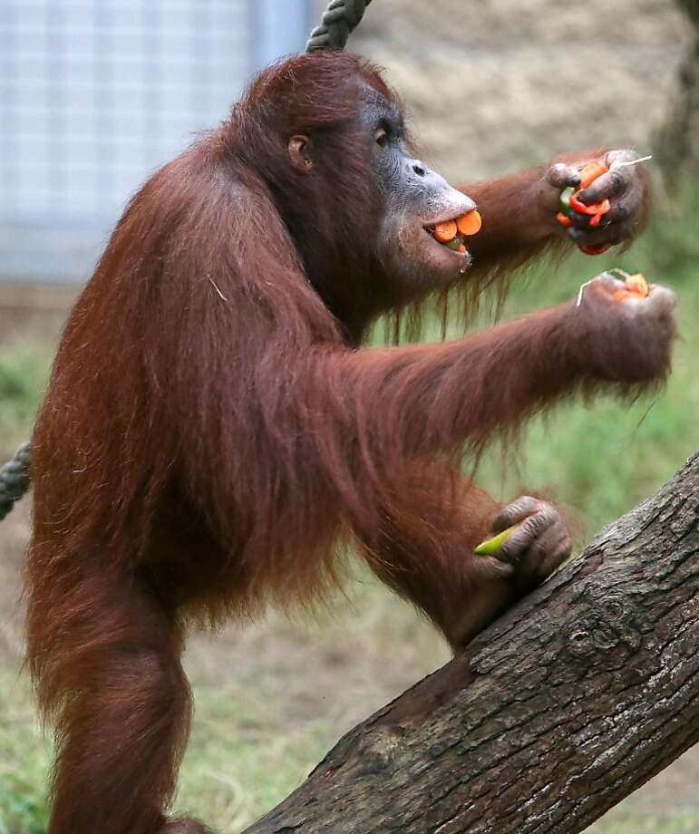 Climbing trees is hard when your hands - and feet - are full:Miri the orang is like the guest at a cocktail party who stuffs his pockets with hors d'oeuvres for later. (Darwineum in Rostock, Germany.) Photo: Bernd Wuestneck, AFP/Getty Images