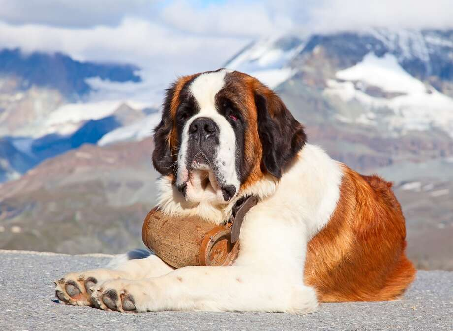 "St. Bernards are on Vetstreet's ""bad first breed"" list, but I wholeheartedly disagree! St. Bernards are big, fluffy piles of companionship, and while they shed and may drool (mine never has, but I've also known many that seem to leave a puddle behind them everywhere they go), they also love to just follow you around be with you. While they're absolutely massive, they're incredibly smart and easy to train, won't bowl you over on their leash, and enjoy being indoors and relaxing even more than they enjoy playing outside.  Despite their working dog roots, they favor cuddling and snoozing over hard exercise any day, and playtimes can be quick breaks between naps. Photo: Swisshippo - Fotolia"
