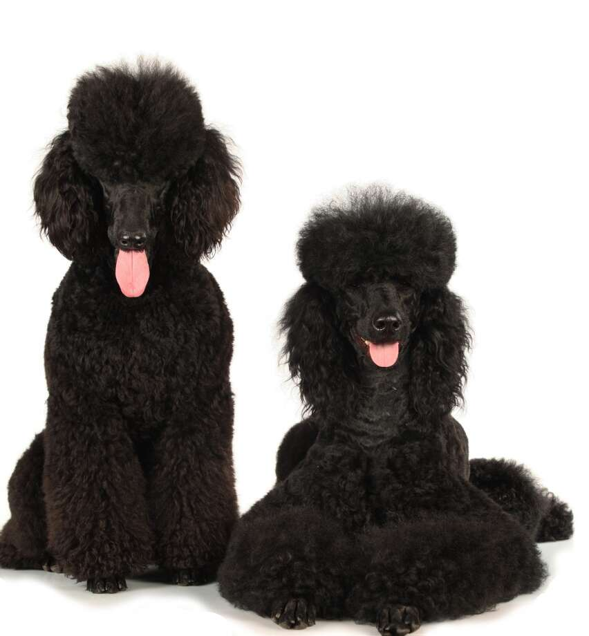 Poodles are comical, skinny, lanky pooches that, when groomed for show, look like the most ridiculous collection of fluff and bare skin ever.  At the same time, they're wonderful partners in crime, they love to socialize, and they bond intensely with their owner. They learn quickly, play hard, and love to relax afterwards, making them wonderful housepets for individuals and families alike. They can be pricey, but the investment is well worth the reward. Photo: Absolutimages - Fotolia