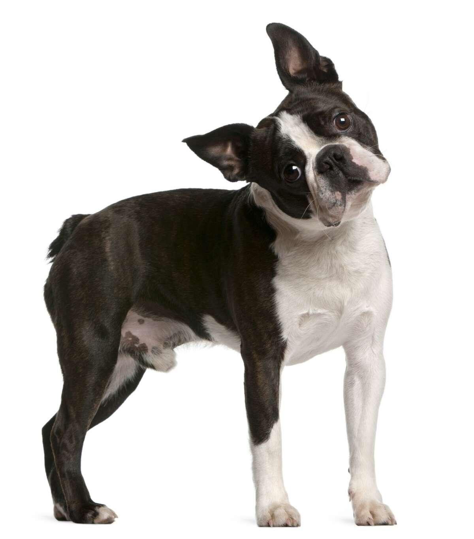 20. Boston Terrier