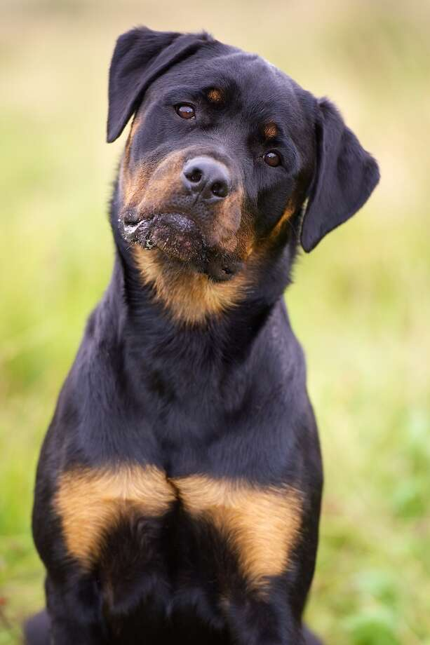 Rottweilers are big, tough, stubborn dogs. They're full of muscles and energy, and tend to be very protective. I wouldn't recommend them to a new owner because they take a lot of work, they need a lot of time to burn off energy every day, and they can be excessively aggressive when either improperly trained or stressed about their territory.   Again, like German Shepherds, they're gorgeous dogs, and not a bad breed at all, but definitely not a good choice for first timers. Photo: Canadeez - Fotolia