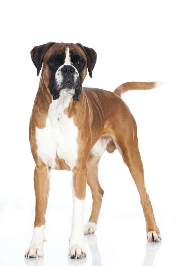 Boxers are corded muscle and excitement incarnate, with all kinds of habits both good and bad. I'm not sure which list I'd put them on, either; Vetstreet doesn't mention them at all, so I'll consult the community on this one: what do YOU think of Boxers? Good first dogs, or not? Photo: DZIERZAWA, DoraZett - Fotolia