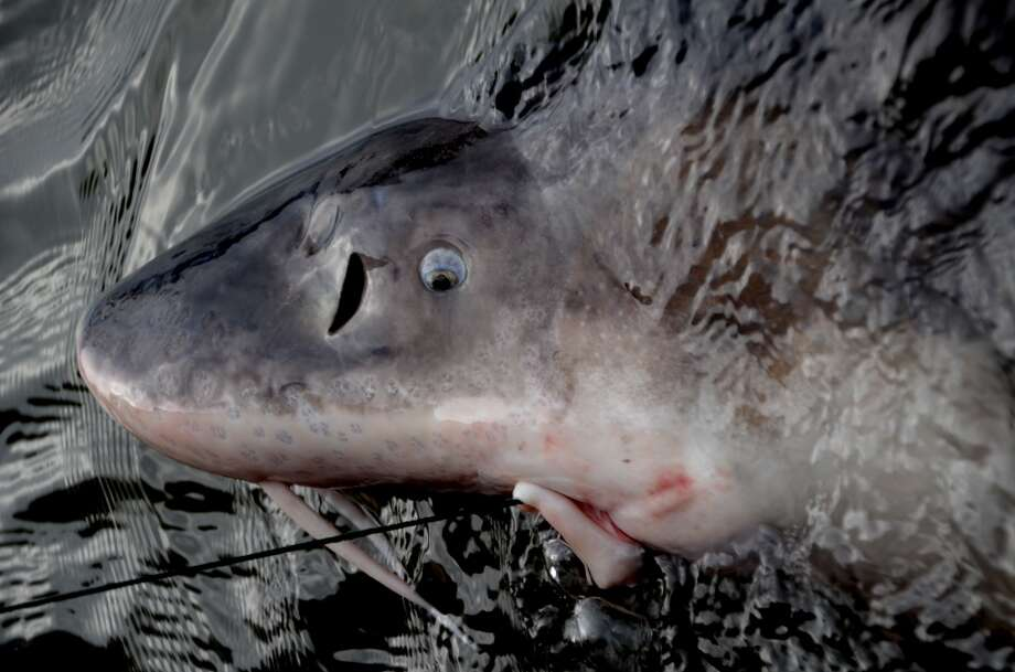Prehistoric fish up close -- yes, this is a sturgeon Photo: John Beath