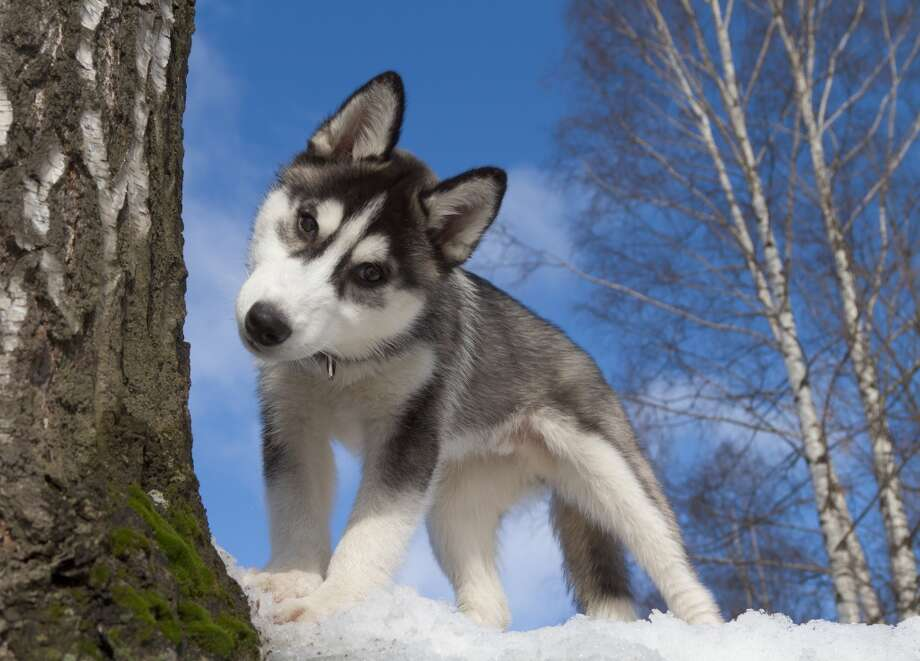 Nervous dogs wag their tails to the left, and happy dogs to the right (from the dog's point of view) - and fellow canines pick up on this lop-sided tail language. Photo: Niklz, ArtSILENSEcom - Fotolia