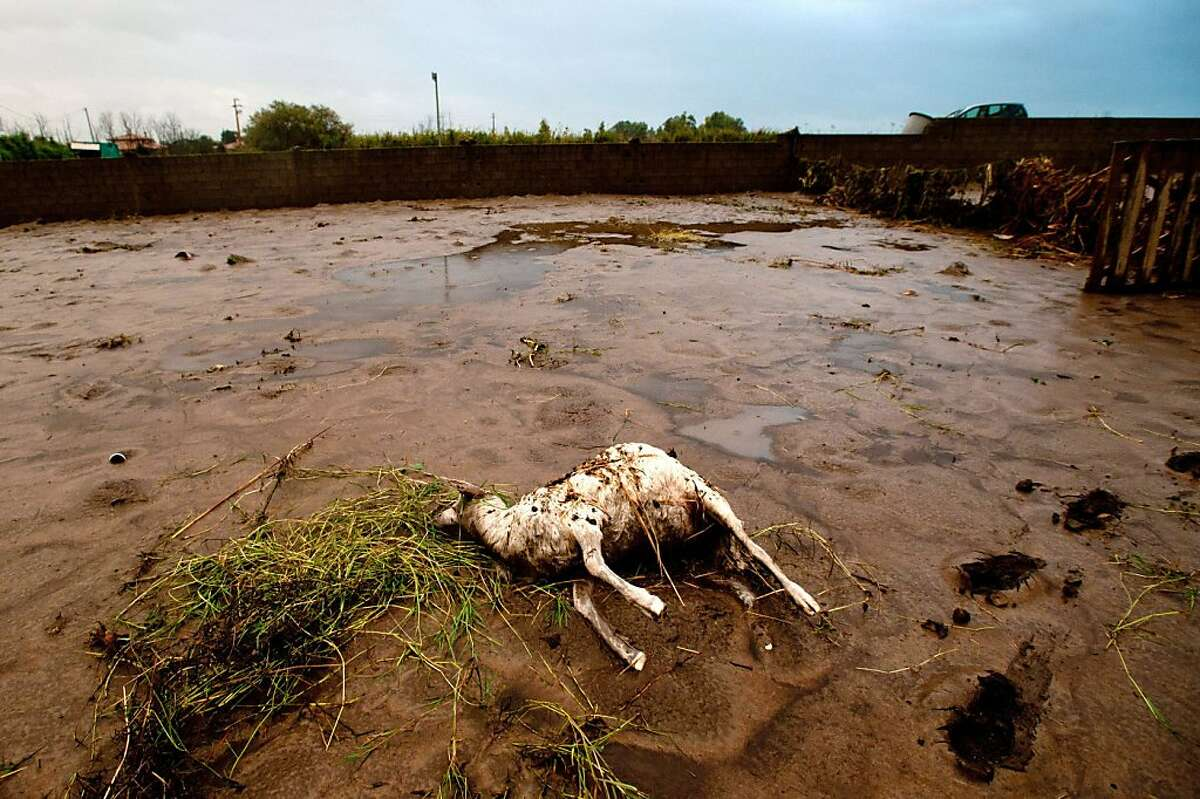 Photo shows a dead animal on a farm in Uras, western Sardinia, on November 20, 2013, after a cyclone triggered flash floods on the island. The port city of Olbia in Sardinia held a day of mourning on November 20 and prepared to bury its dead after flash floods left 16 people on the island dead. One person was still reported missing two days after heavy rain and high winds flooded homes, but the number of people in emergency shelter had been reduced from 2,700 to 1,700, Italy's civil protection agency said. TOPSHOTS/AFP PHOTO / FRANCESCO NONNOIFRANCESCO NONNOI/AFP/Getty Images