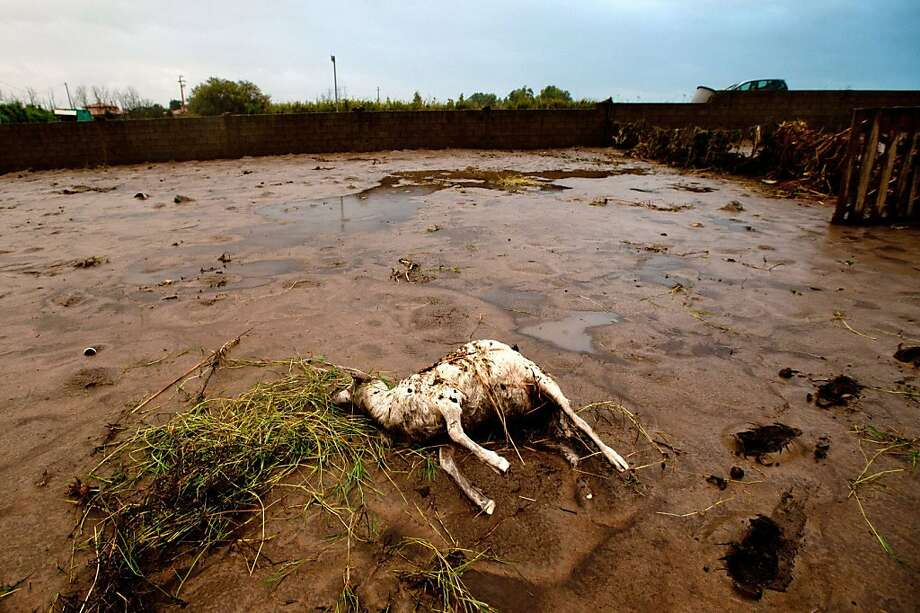 Photo shows a dead animal on a farm in Uras, western Sardinia, on November 20, 2013, after a cyclone triggered flash floods on the island. The port city of Olbia in Sardinia held a day of mourning on November 20 and prepared to bury its dead after flash floods left 16 people on the island dead. One person was still reported missing two days after heavy rain and high winds flooded homes, but the number of people in emergency shelter had been reduced from 2,700 to 1,700, Italy's civil protection agency said.   TOPSHOTS/AFP PHOTO / FRANCESCO NONNOIFRANCESCO NONNOI/AFP/Getty Images Photo: Francesco Nonnoi, AFP/Getty Images