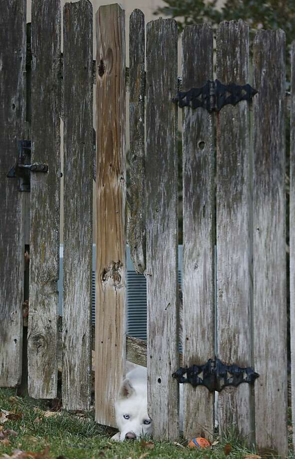 Doggone it:A frustrated Fido sticks his head through a backyard fence in Lawrence, Kan., but he just can't   reach the object of his desire - a chewed-up ball. Photo: Orlin Wagner, Associated Press