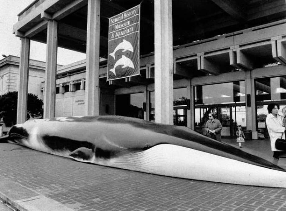 "9. THE BEACHED WHALE: This whale at the entrance of the old Academy of Sciences made a nice statement. ""This isn't a boring museum. You're going to see some cool stuff today."" Photo taken in 1984. Photo: Pete Breinig, The Chronicle / ONLINE_YES"