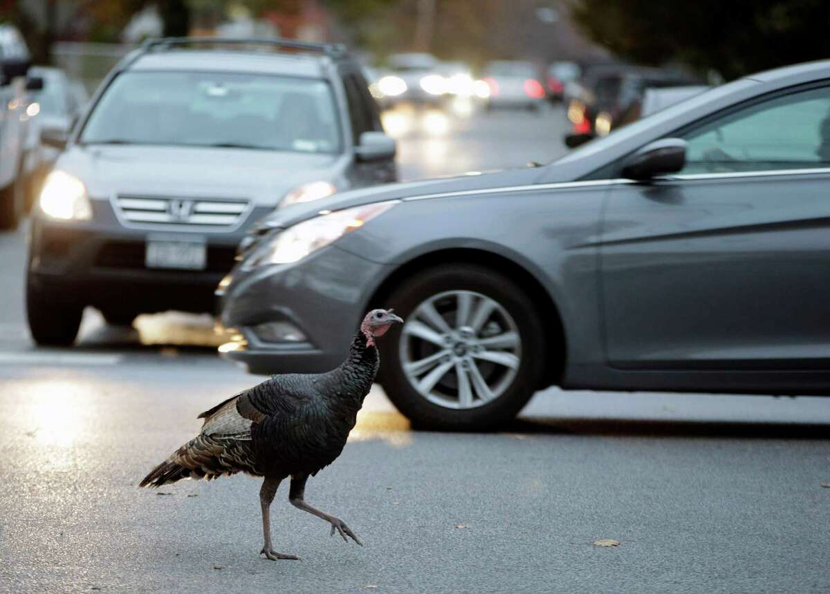 A wild turkey crosses a residential intersection in Staten Island, Monday, Nov. 11, 2013, in New York. The turkey is part of a flock of roving turkeys that has become a mess-making, traffic-stopping scourge to some residents, an unexpected bit of makeshift nature to others and a fraught project for government officials. Since dozens of the turkeys were rounded up and killed this summer, the birds' future has become as a topic as heated as a Thanksgiving meat thermometer. (AP Photo/Kathy Willens) ORG XMIT: NYKW207
