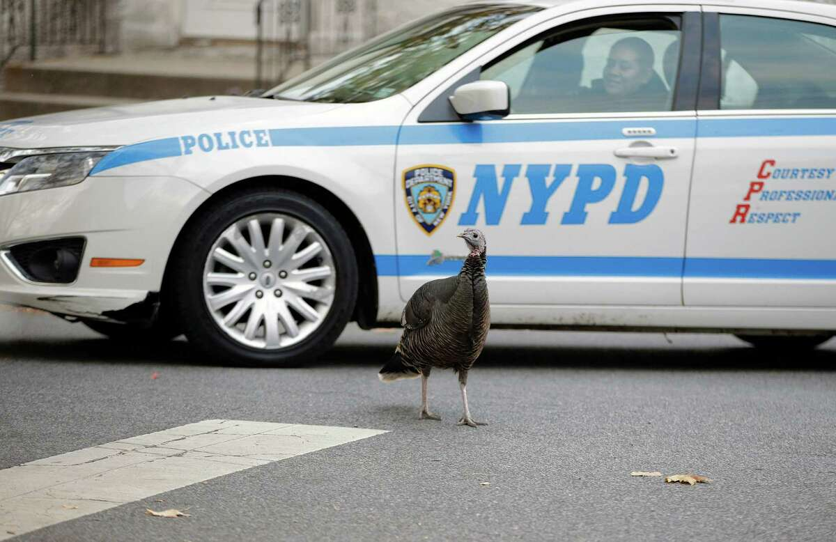 A police officer gently eases her patrol car through an intersection in Staten Island, Monday, Nov. 11, 2013, in New York in a neighborhood where a large population of feral turkeys have established residence. The roving turkeys have become a mess-making, traffic-stopping scourge to some residents, an unexpected bit of makeshift nature to others and a fraught project for government officials. Since dozens of the turkeys were rounded up and killed this summer, the birds' future has become as a topic as heated as a Thanksgiving meat thermometer. (AP Photo/Kathy Willens) ORG XMIT: NYKW208