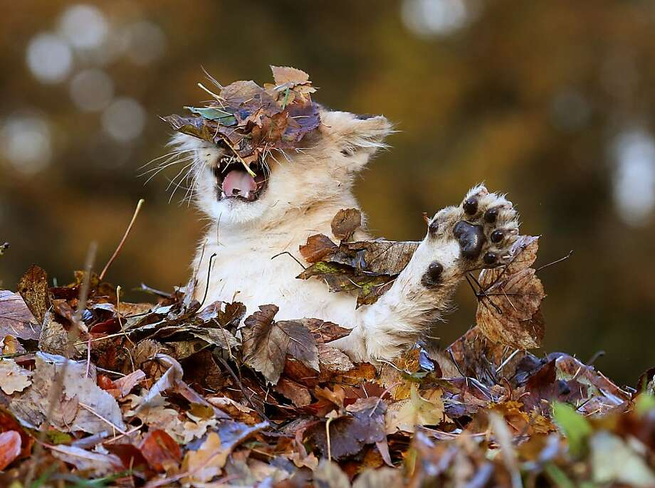 Who turned out the lights? A face full of autumn color temporarily blinds Karis as she attacks a leaf pile with all the ferocity that an 11-week-old lion cub can muster. (Blair Drummond Safari 