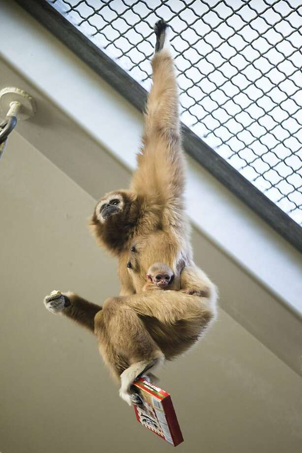 Bears like oatmeal, apes prefer Froot Loops: Phoenice the gibbon grabs her baby and a box of cereal at the Philadelphia Zoo. Photo: Matt Rourke, Associated Press
