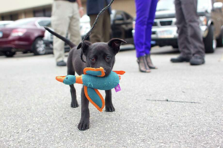 These photos from our Hearst affiliate, the Houston Chronicle, were too cute not to share. More than 50 dogs from the Houston area were sent to shelters in need in Colorado. Here, an adorable puppy named Buttercup walks with a toy before his trip to Colorado. Photo: Johnny Hanson, Houston Chronicle / Houston Chronicle