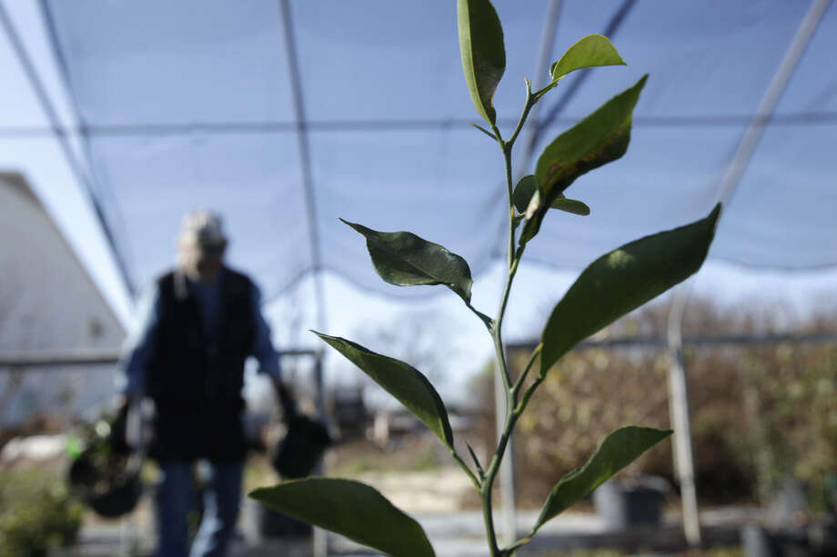 Frost-tender plants, such as citrus, need protection from freezing temperatures. Photo: Express-News File Photo