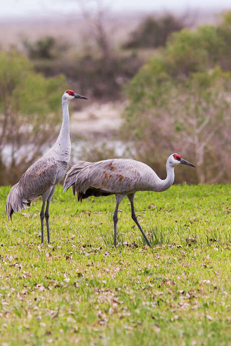 Sandhill cranes are arriving in Texas to spend the winter.  They usually travel in family groups.  Photo credit:  Kathy Adams Clark.  Restriced use. Photo: Kathy Adams Clark / Kathy Adams Clark/KAC Productions, P O Box 8674, The Woodlands, TX 77387, 281-367-2042, kathyadamsclark@houston.rr.com
