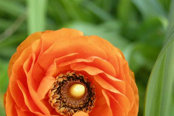 Plant ranunculus bulbs around Thanksgiving time for blooms like this in the spring.