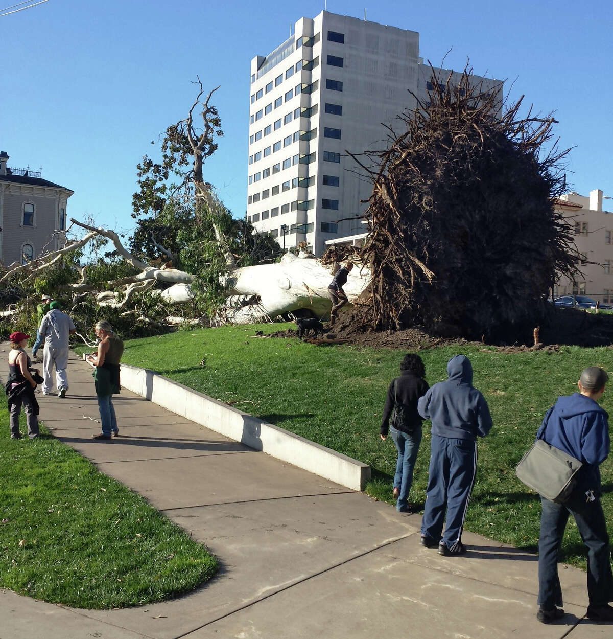 A large tree was downed by a wind storm in front of the Lake Chalet restaurant in Oakland near Lake Merritt.