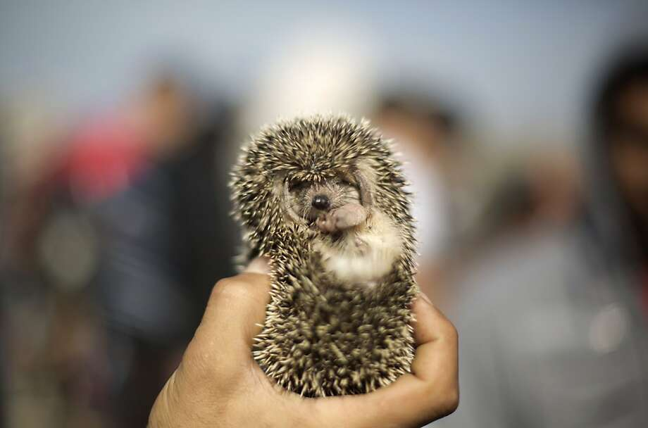 By the pricking of my thumbs, something cute but thorny this way comes:A Palestinian vendor displays a hedgehog   for sale at a pet market in Gaza City. Photo: Mohammed Abed, AFP/Getty Images