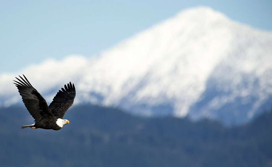 Salmon hunter: A bald eagle flies past snow-covered mountain tops above the Harrison River near Harrison Mills, British Columbia. The eagles arrive every year about this time to feed on salmon in the river. Photo: Jonathan Hayward, Associated Press