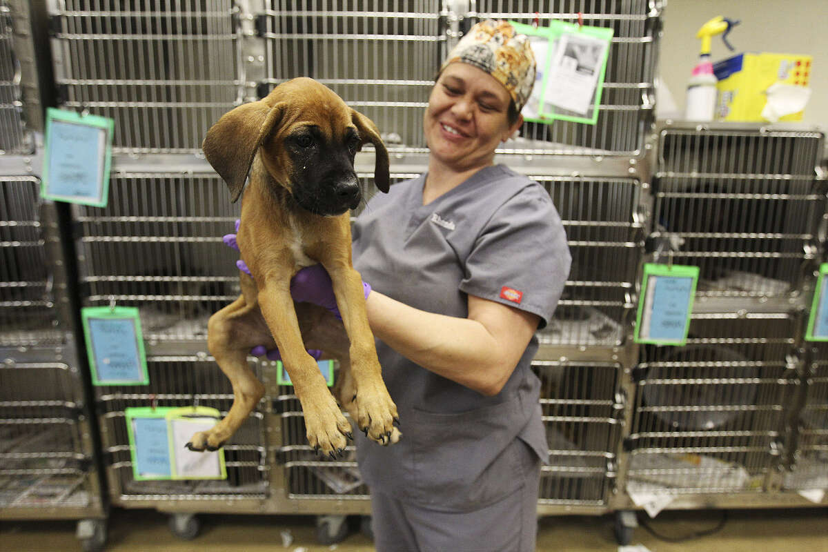Veterinary technician Rhonda Lindner prepares a pup for spaying at Animal Care Services. Foundation money has helped ACS cut its euthanasia rates.