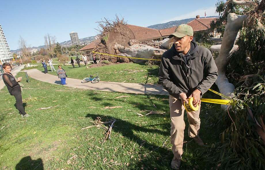 Robert Kennedy of the Oakland Public Works Dept., Parks Division, cordons off a large eucalyptus tree near Lake Merritt that fell down during a windstorm on Nov. 22, 2013 in Oakland, Calif.  The tree, estimated to be around 70 years old, was one of over 120 trees that were downed by the storm.  The tree did not damage the nearby Lake Chalet restaurant or cause any injuries. Photo: Douglas Zimmerman, SF Gate