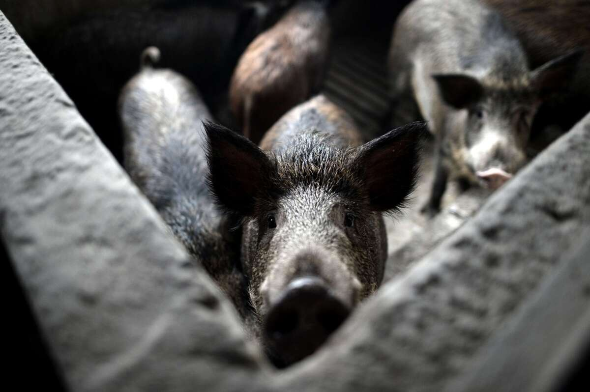 Greece: A wild pig looks on from the inside of a stall in a farm near the northern Greek city of Katerini. In the rolling hills beneath Mount Olympus, the home of Greece's ancient gods, livestock rearing and agriculture are a centuries-old way of life. Formerly an agricultural society, Greece changed dramatically in the postwar period by placing emphasis on mining, construction and tourism. Fields were abandoned and entire villages were depopulated, but the trend is now being reversed as Greeks look to more affordable life in the countryside to escape soaring unemployment in cities.