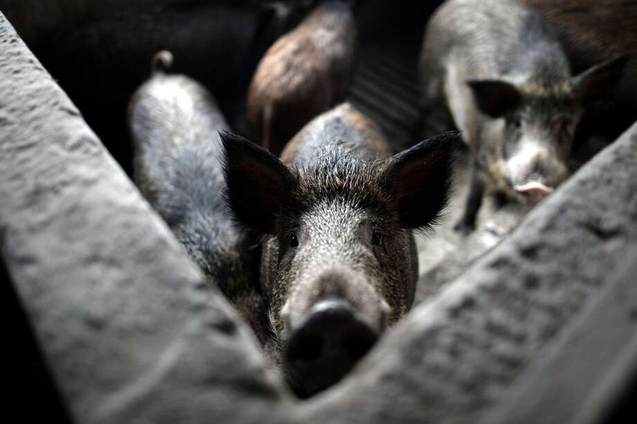 Greece:  A wild pig looks on from the inside of a stall in a farm near the northern Greek city of Katerini. In the rolling hills beneath Mount Olympus, the home of Greece's ancient gods, livestock rearing and agriculture are a centuries-old way of life. Formerly an agricultural society, Greece changed dramatically in the postwar period by placing emphasis on mining, construction and tourism. Fields were abandoned and entire villages were depopulated, but the trend is now being reversed as Greeks look to more affordable life in the countryside to escape soaring unemployment in cities. Photo: Aris Messinis, AFP/Getty Images