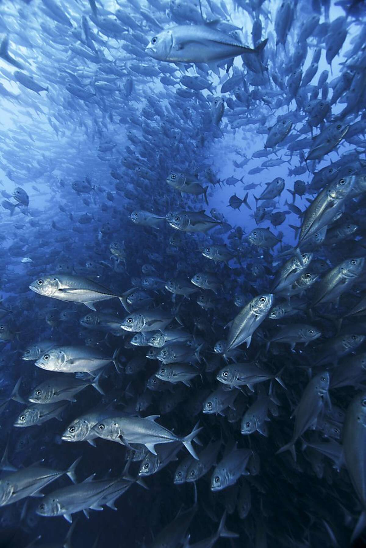 A giant school of bigeye trevallies off the coast of Costa Rica.