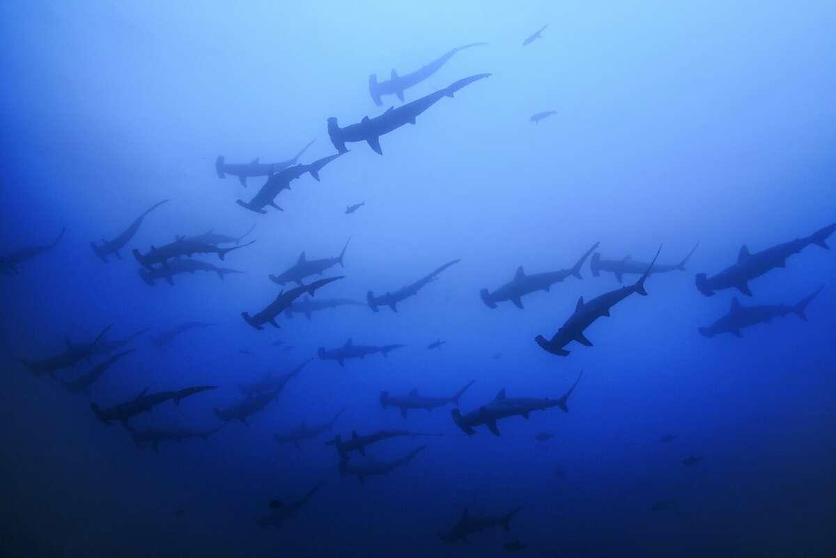 A school of hammerhead sharks swim near Cocos Island, Costa Rica.