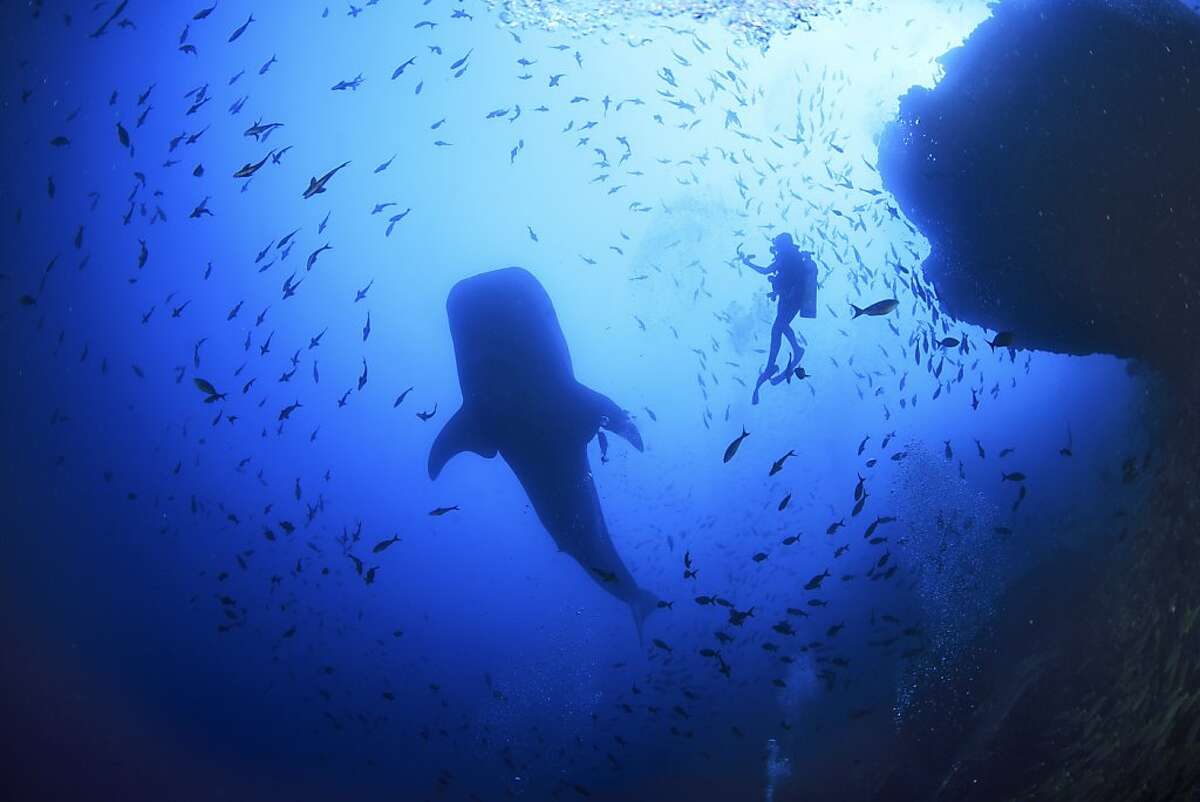 A scuba diver swims with a whale shark near Cocos Island off the coast of Costa Rica.