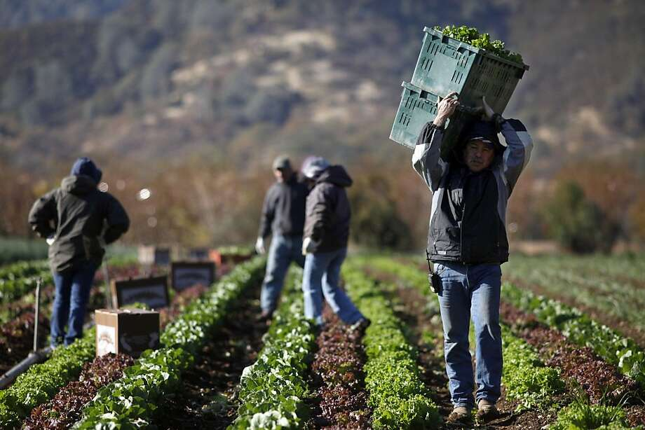 Celso Jacobo carries the harvested lettuces back to the truck  at the Full Belly Farm, Thursday November 19, 2013, in Guinda, Calif.  Full Belly Farm has approximately 400 acres and serve thousands through farmers markets and online. Small farm advocates worry that new food safety rules proposed by the FDA will hurt the small farmers and unravel farm conservation programs. Photo: Lacy Atkins, The Chronicle