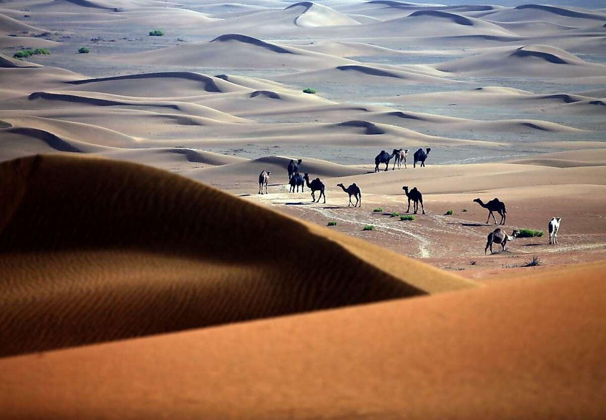 Camels walk in the Liwa desert, 220 kms west of Abu Dhabi, on November 22, 2013. TOPSHOTS/AFP PHOTO/KARIM SAHIBKARIM SAHIB/AFP/Getty Images