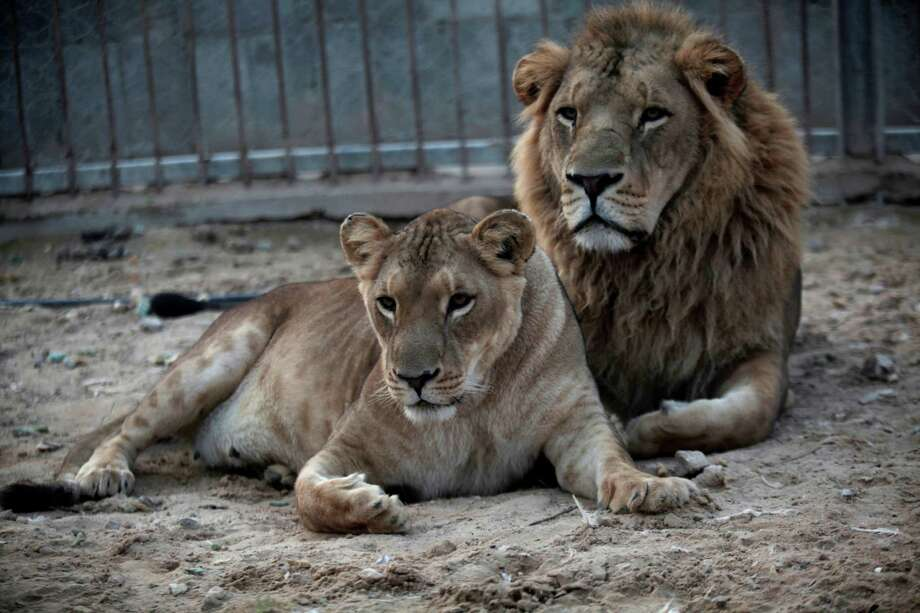 A pair of African lions, new parents of a male, Fajer, and a female, Sejeel, rest at Besan Zoo in Beit Lahiya, northern Gaza Strip, Tuesday, Nov. 19, 2013. For the first time in the Gaza Strip, a lion has given birth to two cubs, on Sunday evening. The 6 year-old African lion, which was smuggled through the tunnels four years ago, gave birth in normal conditions according to the northern Gaza Besan Zoo. The manger has named the male cub Fajer in reference to the Iranian made Fajer rockets which were used during 8 days of fighting between Gaza militants and Israel in 2012, and the female Sejeel, the name which Hamas called their offensive. Photo: Hatem Moussa, AP / AP2013