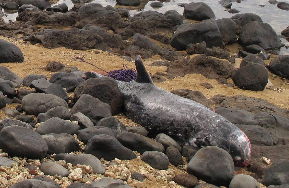 This Nov. 16, 2013 photo provided by Hawaii Pacific University shows a rarely seen Risso's dolphin stranded on the beach in Paia, Hawaii. A necropsy indicated the dolphin had pneumonia and heart disease. Scientists estimate about 2,000 Risso's dolphins live around the main and northwestern Hawaiian Islands. Photo: Bill Lewis, AP / AP2013