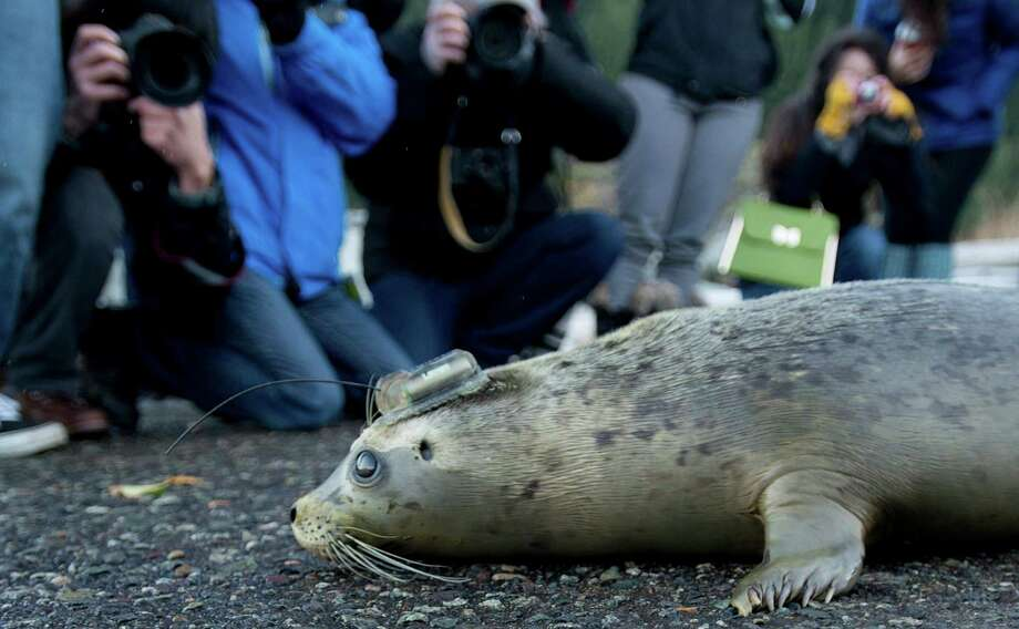 A rehabilitated harbour seal pup equipped with satellite tag on its head makes its way to the waters of Howe Sound at Porteau Cove, B.C. Wednesday, Nov. 20, 2013. Five of the seven pups released pups have been equipped with satellite transmitters that will provide the aquarium's Marine Mammal Rescue Centre with information about where the seals go and how they do after returning to the wild. The satellite-linked tags are glued to the seal's hair coat on the animals' heads, and may last anywhere from a couple of weeks to a year. Photo: Jonathan Hayward, AP / The Canadian Press