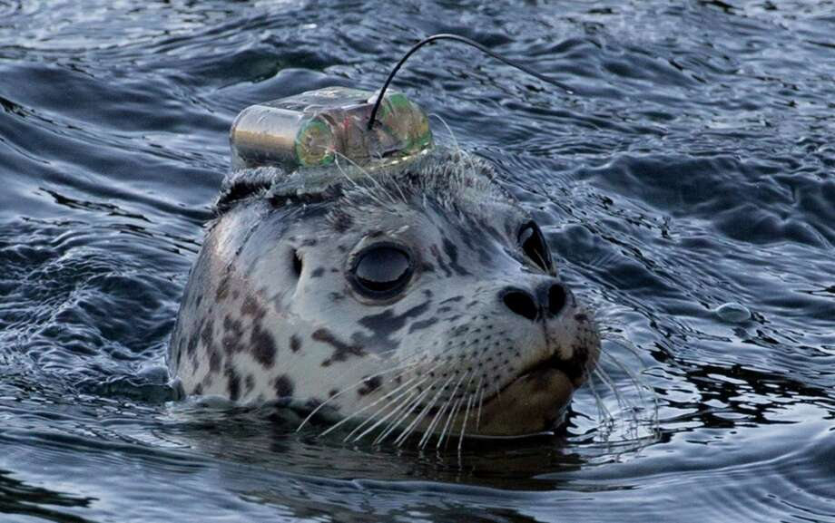 A rehabilitated harbour seal pup equipped with satellite tag on its head is released into the waters of Howe Sound at Porteau Cove, B.C. by the Vancouver Aquarium, Wednesday, Nov. 20, 2013. Five of the seven pups released pups have been equipped with satellite transmitters that will provide the aquarium's Marine Mammal Rescue Centre with information about where the seals go and how they do after returning to the wild. The satellite-linked tags are glued to the seal's hair coat on the animals' heads, and may last anywhere from a couple of weeks to a year. Photo: Jonathan Hayward, AP / THE ASSOCIATED PRESS2013