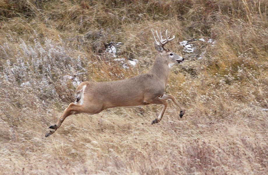 In this Monday, Nov. 18, 2013 photo, runs beside Hwy 234 in Beaver Creek Park near Havre, Montana. Hunter and harvest numbers are down at Montana Fish, Wildlife & Parks Region 6 game check station outside Havre for all species except elk. Photo: Lindsay Brown, AP / Havre Daily News