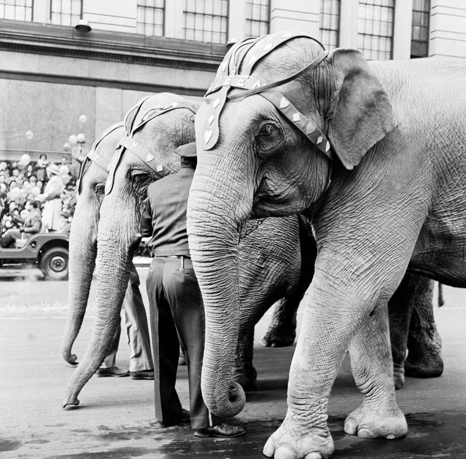 A group of elephants passes by during the 1954 Macy's Thanksgiving Day Parade. Photo: NBC, Getty Images / © NBC Universal, Inc.