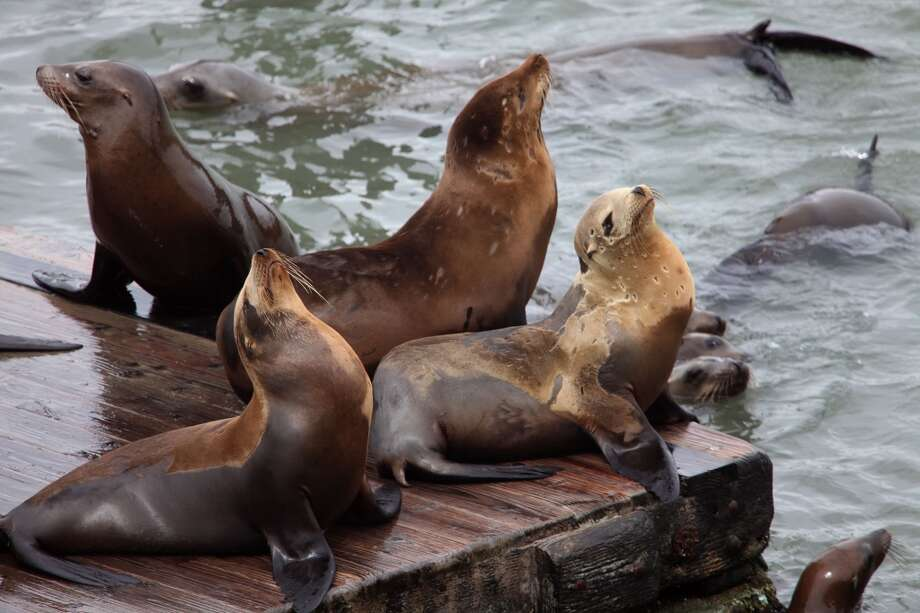 Never go down to Fisherman's Wharf, but still hear the sea lions every day. Photo: Liz Hafalia, The Chronicle