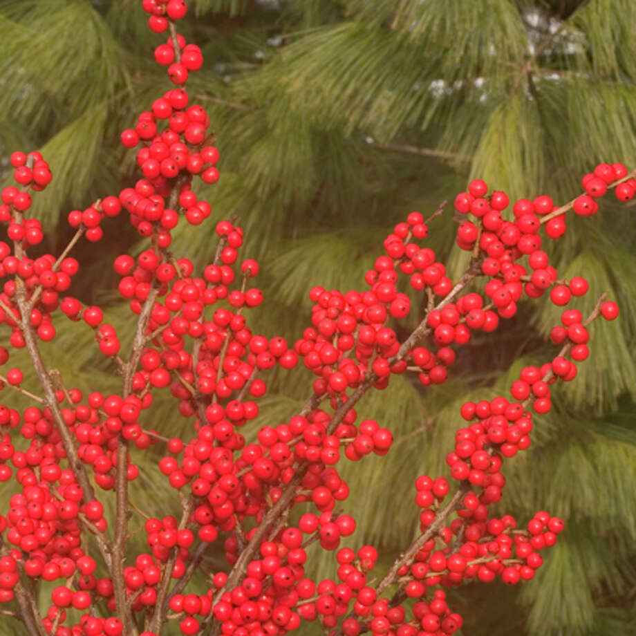 Holly berries brighten the landscape. Photo: Contributed Photo / The News-Times Contributed